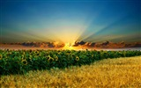 Title:amazing sunflowers-Beautiful natural scenery Desktop Wallpapers Views:17890