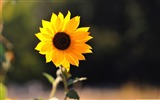 Title:beautiful sunflower-Colorful-Flowers Wallpaper Photo Views:5924