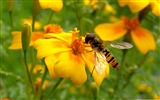 Title:bee on a flower-Colorful-Flowers Wallpaper Photo Views:4523