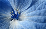 Title:blue flower-Colorful-Flowers Wallpaper Photo Views:5139