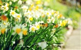 Title:daffodil lane-Colorful-Flowers Wallpaper Photo Views:5410