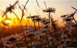 Title:daisies at sunset-Colorful-Flowers Wallpaper Photo Views:3682