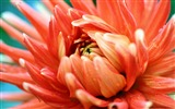 Title:orange passion-Colorful-Flowers Wallpaper Photo Views:4831