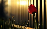 Title:red tulip-Colorful-Flowers Wallpaper Photo Views:4057