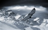 Title:bald eagle flying over mountains-winter theme desktop wallpaper Views:7718