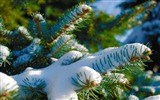 Title:snowy blue spruce-winter theme desktop wallpaper Views:5360