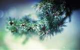 Title:spruce  photograph-winter theme desktop wallpaper Views:4188