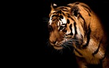 Title:King of the jungle-Tiger Theme HD Desktop Wallpaper 06 Views:4157