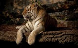 Title:King of the jungle-Tiger Theme HD Desktop Wallpaper 12 Views:3441