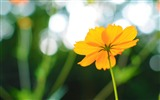 Title:cosmos flower in late summer-summer landscape wallpaper Views:10383