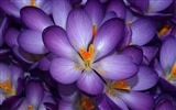 Title:crocuses-Amazing Flowers Photography Photo Wallpaper Views:6397