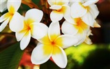 Title:exotic flowers plumerias-Amazing Flowers Photography Photo Wallpaper Views:7067