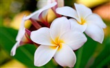 Title:hawaiian plumeria-Amazing Flowers Photography Photo Wallpaper Views:17205