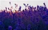 Title:lavender field and sunset-summer landscape wallpaper Views:78020