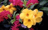 Title:golden trumpets-Valentines Day flowers photography picture Views:4309