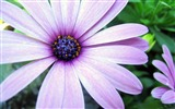 Title:purple cape daisy-Valentines Day flowers photography picture Views:3596