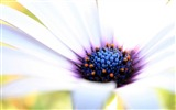 Title:white cape daisy-Valentines Day flowers photography picture Views:3624