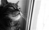 Title:cat looking out window-Life of the cat desktop wallpaper Views:4301