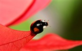 Title:black beetles with red spots-all kinds of insects wallpaper Views:5074