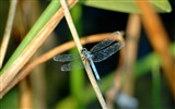 Title:blue dragonfly-all kinds of insects wallpaper Views:4431