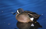 Title:blue winged teal drake duck-Animal photography HD wallpaper Views:5553