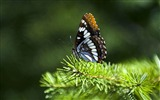 Title:butterfly on fir branch-all kinds of insects wallpaper Views:3779