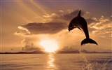 Title:dolphin-Animal photography HD wallpaper Views:13341