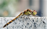 Title:dragonfly macro-all kinds of insects wallpaper Views:4560