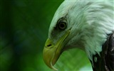 Title:eagle bird-Animal photography HD wallpaper Views:5434