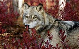 Title:forest wolf-Animal photography HD wallpaper Views:44507