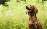 Title:irish setter-Animal photography wallpaper Views:5723