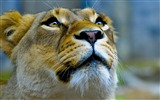 Title:lioness-Animal photography wallpaper Views:4695