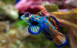 Title:mandarin fish-Animal photography wallpaper Views:5621