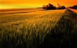 Title:sunset over wheat field-beautiful nature landscape wallpapers Views:7595