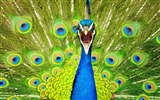 Title:blue peacock-Animal photography wallpaper Views:20787