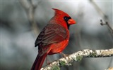 Title:cardinal-Birds photography wallpaper Views:7104