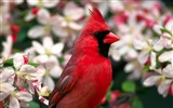 Title:cardinal northern-Birds photography wallpaper Views:3265
