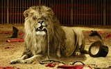 Title:cruel lion-Animal photography wallpaper Views:9830