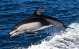 Title:dolphin-Animal photography wallpaper Views:4871