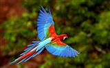 Title:flying parrot-Birds photography wallpaper Views:9252