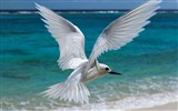 Title:flying white tern midway hawaiian-Birds photography wallpaper Views:5983
