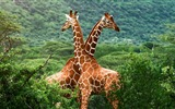 Title:giraffe-Animal photography wallpaper Views:7613