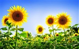 Title:Summer flowers photography wallpaper Views:16717