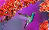 Title:hummingbird-Birds photography wallpaper Views:7103