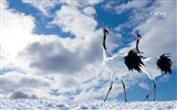 Title:japanese cranes-Birds photography wallpaper Views:5076