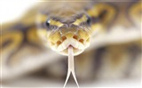 Title:snake-Animal photography wallpaper Views:5322