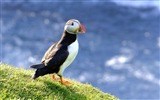 Title:Bird Alcidae Horned Puffin-Animal photo wallpaper Views:4636