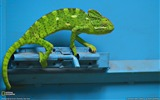 Title:Chameleon India-National Geographic wallpaper Views:8568