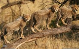 Title:Cheetah Cubs South Africa-National Geographic wallpaper Views:17414