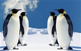 Title:Cute penguins-Animal photography wallpaper Views:5493